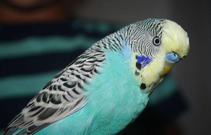 Узбекистан стал крупнейшим экспортером попугаев