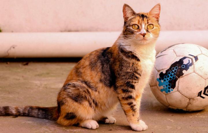 Болельщик научил своего кота кричать «гол» (видео)