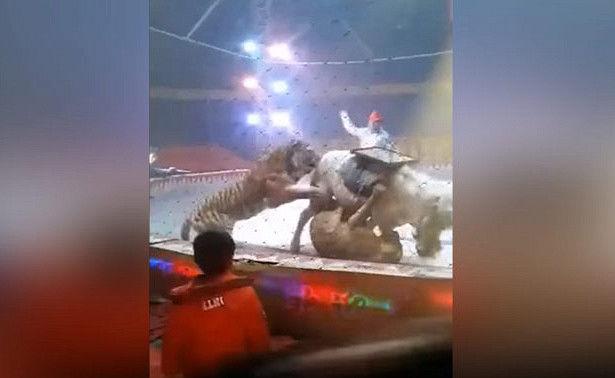 Хитой циркида шер ва йўлбарснинг бирваракайига қилган ҳужумидан от зўрға омон қолди (видео)