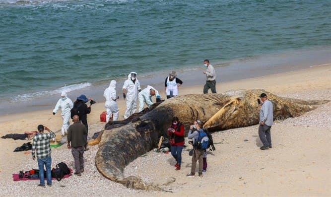Исроил қирғоқларида 17 метрлик улкан кит жасади топилди (видео)