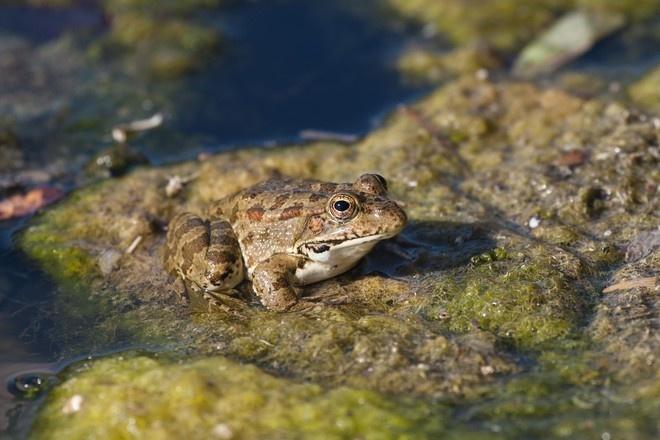 В Турции под угрозой вымирания находятся съедобные лягушки