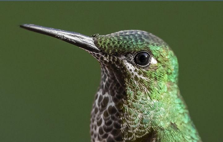 В Башкортостан прилетели колибри (видео)