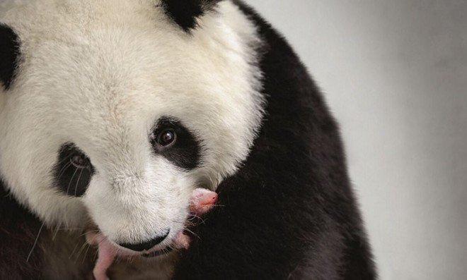 Gon va Kong: siyosiy sahnada — pandalar...