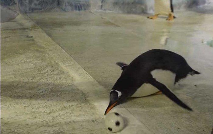 Маленький спортсмен: пингвин гоняет футбольный мяч (видео)