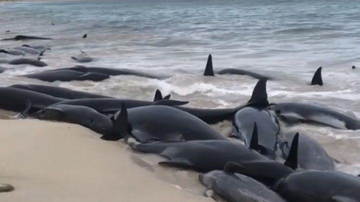 Австралия қирғоқларида 150 дан зиёд делфин ўлиги топилди (видео)