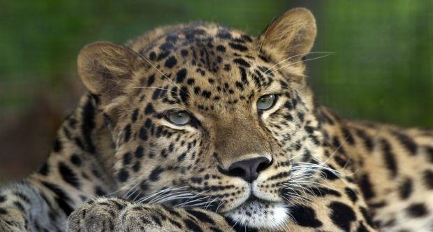 В Индии леопард откусил голову 9-месячному младенцу