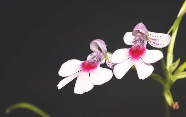 Олимлар орхидеянинг янги турини аниқлашди