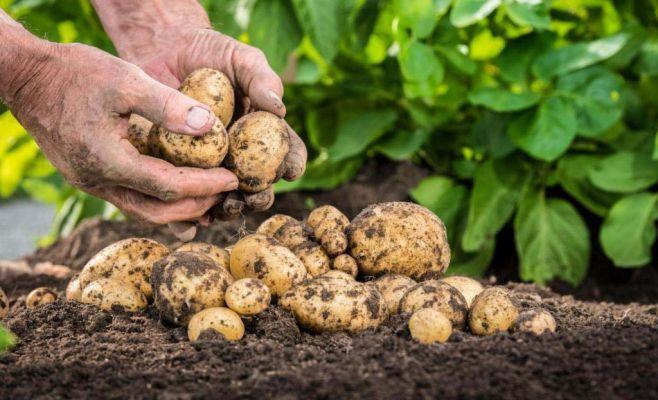 Картошка етиштирувчилар уюшмасига раис тасдиқланди