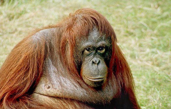 CМИ: орангутан в Индонезии получил 74 пулевых ранения, но выжил (фото)