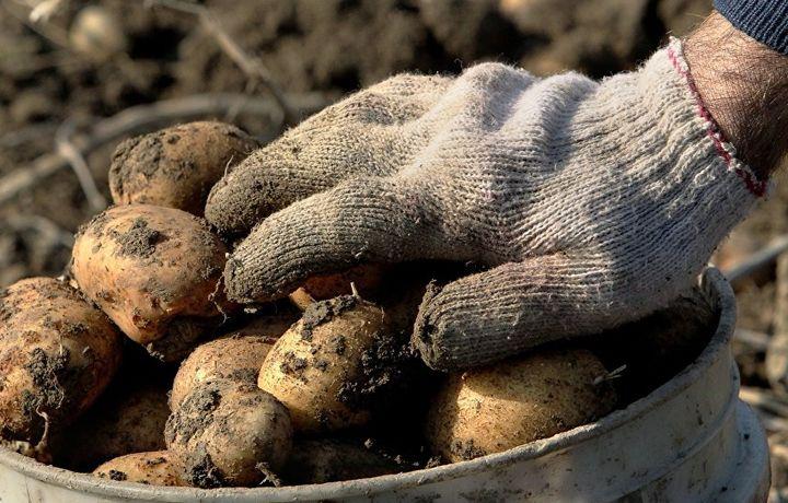 2019 йилги картошка ҳосили прогноз қилинди
