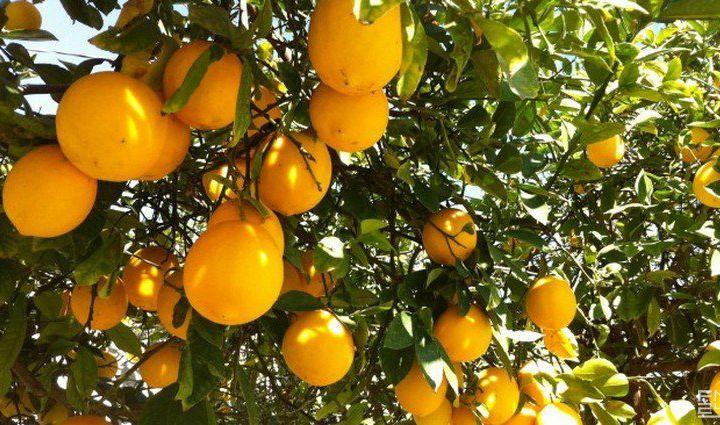 Ўзбекистонга лимон қандай кириб келган?